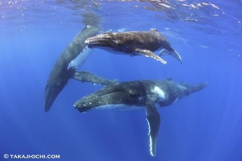 トンガ ホエールスイム クジラ