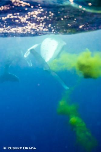 液体状の糞を出しながら泳ぐクジラ