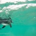 関戸紀倫(きりん) ガラパゴス ペンギン