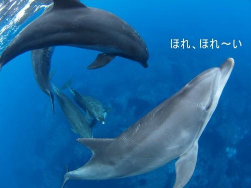 御蔵島のイルカ(撮影:寺山英樹)