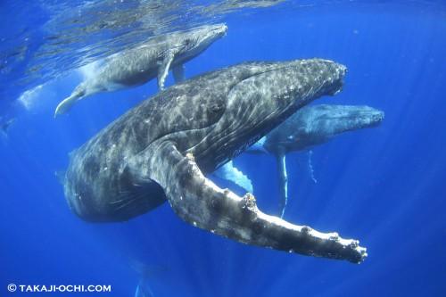 トンガ クジラ ホエールスイム