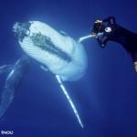 トンガ クジラ