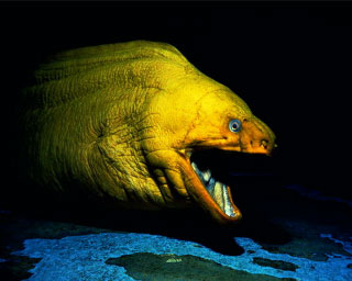 pic-giant-moray-eel