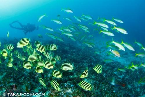 温帯域のカゴカキダイと熱帯域のアカヒメジが共存する不思議な海 「グラスワールド」