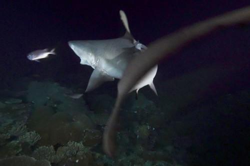 ライトに照らされた魚を襲うグレーリーフシャーク