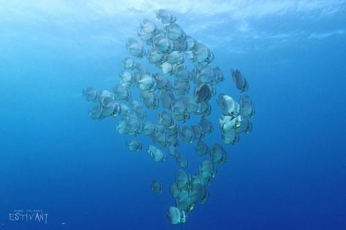 ツバメウオの形で泳ぐ、ツバメウオの群れ!? ~ダイバーが出会った久米島のスイミー~