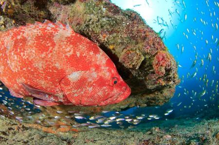 小魚を狙ってガレたサンゴの下でチャンスをうかがうアザハタ。目がマジ過ぎて笑える。