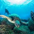 遭遇率ほぼ100%のアオウミガメ