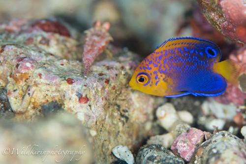 苦労して撮影したレンテンヤッコの幼魚