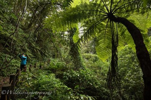 八丈らしい大きな植物「ヘゴ」というシダの仲間