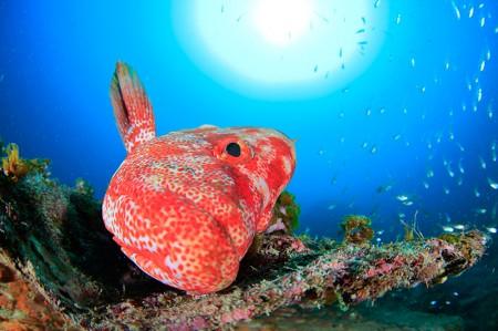 小魚の群れ具合が少ないのが残念だったけど「備前」のオスのアザハタは、近寄れるし、とにかく個性豊か