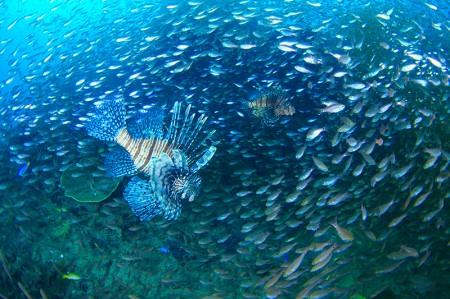 クロホシイシモチとキンメモドキの雲海の中を悠然と泳ぐハナミノカサゴたち。「中黒礁」