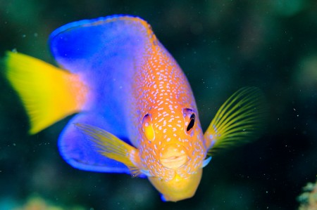 初串本で一番気になった魚はレンテンヤッコ