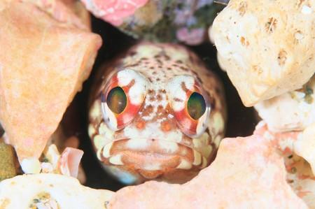 ユニークな顔をしたカエルアマダイ