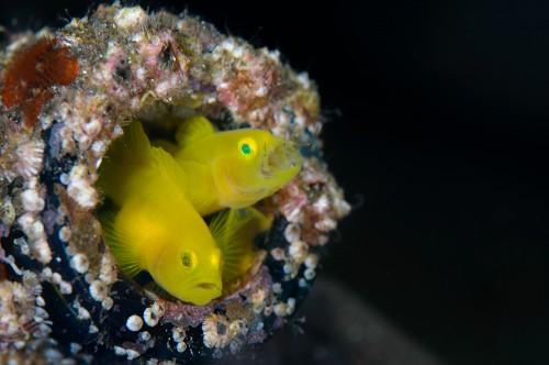 ミジンのハッチアウト。 よく見ると口を開けてるほうの口周りに稚魚が数匹います。