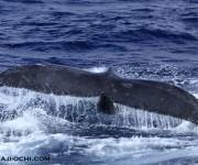 次の記事: 奄美群島での初ホエールウォッチングは1組のザトウクジラに遭遇