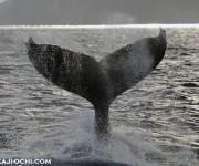 次の記事: 奄美南部の大島海峡東側出口付近で5頭のザトウクジラに遭遇