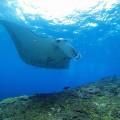 バリ屈指のダイビングポイント、ヌサペニダ島の「マンタポイント」。潮当たりが良く豊穣の海
