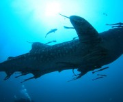次の記事: 水深1000mまで行くことも!? エサを求めるジンベエザメの