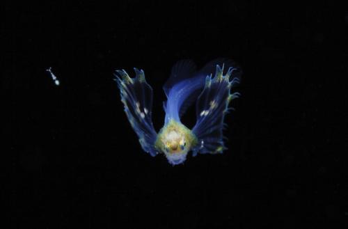 オニオコゼ科の稚魚(約10mm)