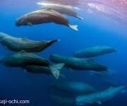前の記事: 20頭のマッコウクジラの群れと、シロナガスクジラの親子を水中