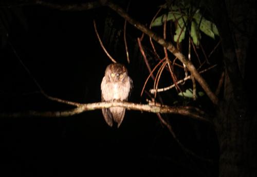 琉球コノハヅク。大人でも約20cm 程と小さめ