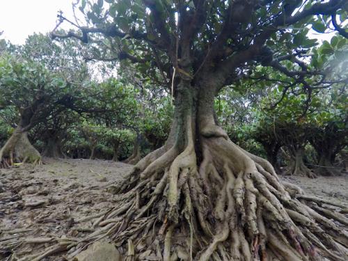 干潮時にだけ見られるメヒルギの根