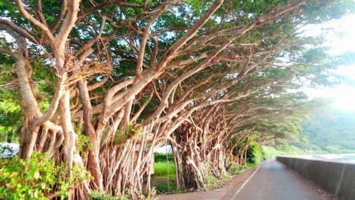 のびのびと茂るデイゴの木