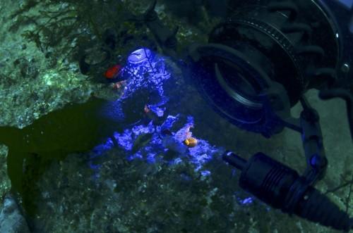 背景を青いフィルターで色付け、手前のダンゴウオをマイクロスヌートで浮かび上がらせる中村