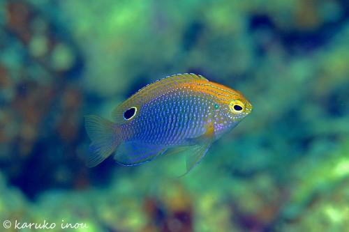 クロメガネスズメダイの幼魚