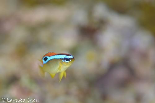 こちらがその、ミヤコキセンスズメダイの幼魚。浅瀬にしか生息しない