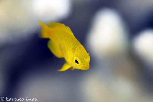 ネッタイスズメダイの幼魚