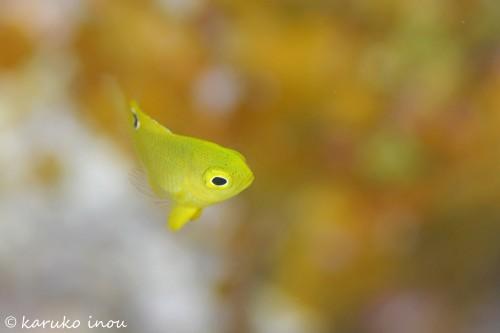 ニセネッタイスズメダイの幼魚