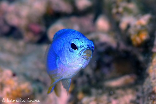 ソラスズメダイの幼魚