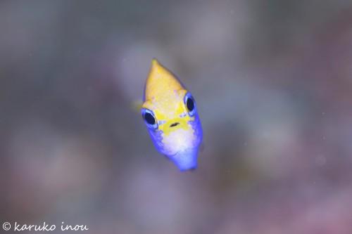 セナキルリスズメダイの幼魚