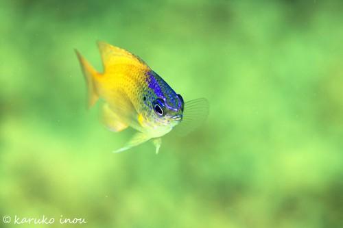 レモンスズメダイの幼魚