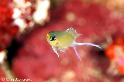 いろいろと撮影するのに苦労したマルスズメダイの幼魚