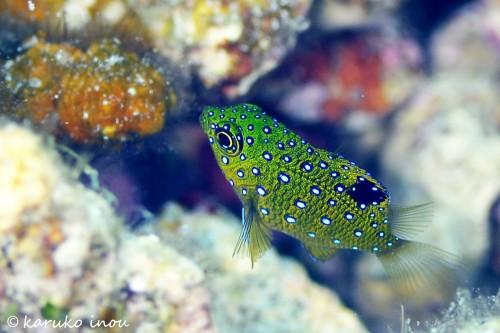 色が美しい、ルリホシスズメダイの幼魚