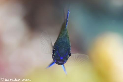 アマミスズメダイの幼魚。バックの色が気に入っている