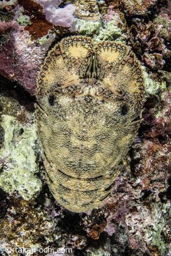 ゾウリエビなどの甲殻類もよく見られた