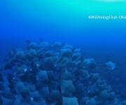 前の記事: 海底が動いた! 100枚越えのウシバナトビエイの大群あらわる