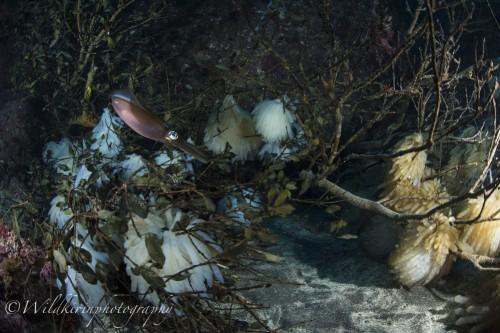 ひと房に6~13個の卵が入った卵嚢を産卵する