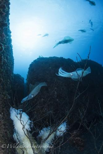 八丈島のアオリイカの産卵(撮影:関戸紀倫)