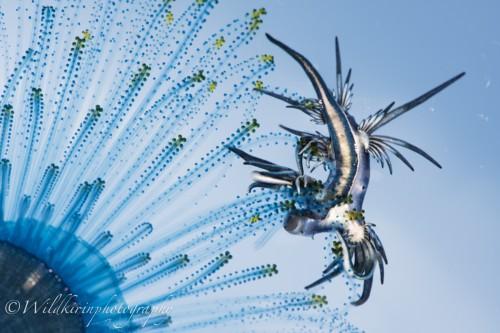 Bleu Dragon kirin