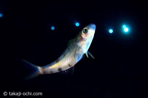 アオチビキ幼魚