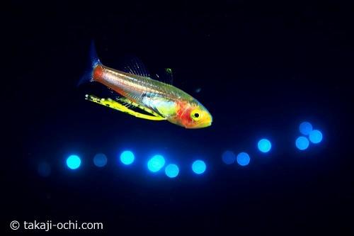 クダリボウズギス属の一種稚魚