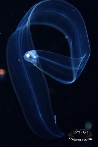ウツボ亜科のレプトセファルス期稚魚