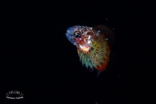 セダカギンポ稚魚