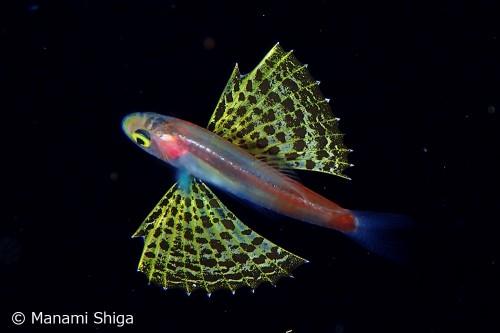 クダリボウズギス属の稚魚