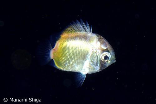 トゲチョウチョウウオのトリクチス期稚魚